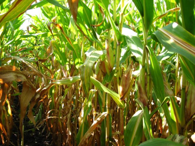 Дефіцит азоту може викликати пожовтіння і в'янення нижнього листя