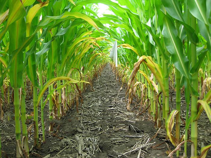 Дефіцит калію може призвести до пожовтіння кінців і країв нижніх листків у кукурудзи