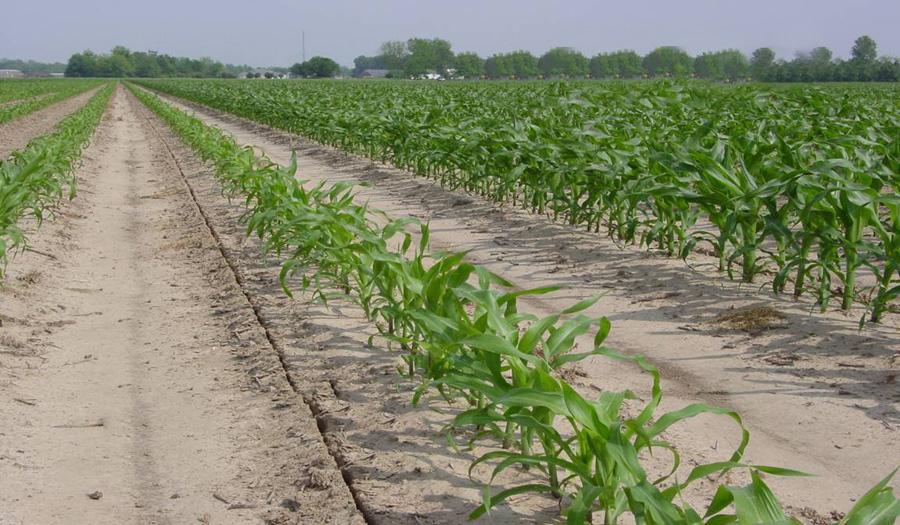 Низький pH грунту може сильно обмежити ріст кукурудзи та її продуктивність