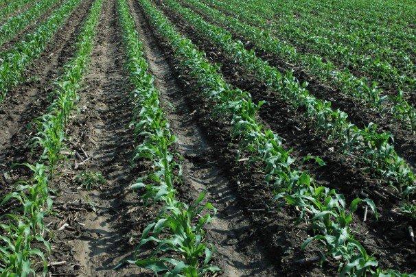 Фото здорових, рівномірних посівів кукурудзи. Швидкий старт і висока продуктивність багато в чому залежать від родючості ґрунту