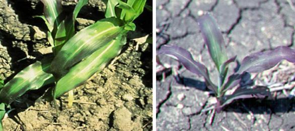 Дефіцит фосфору може призвести до появи пурпурового забарвлення кінчиків і країв листя кукурудзи