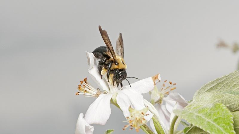 Бджола-тесляр навідує яблуневу квітку.Фото: Кента Луффлера