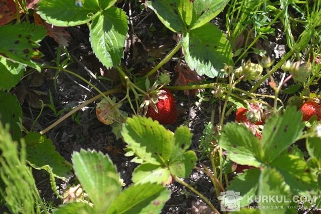 Кущі полуниці у господарстві
