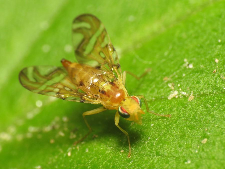 Strautia longipennis