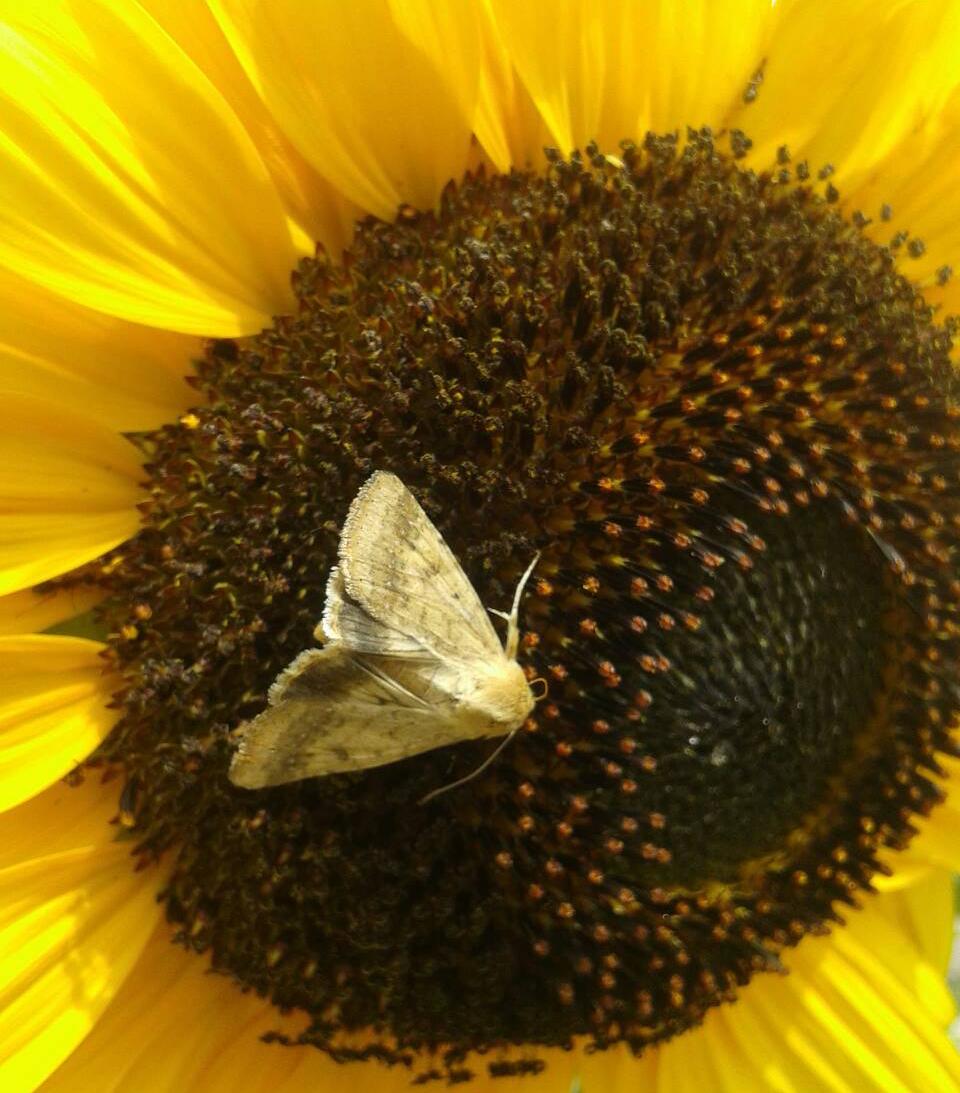 Лучний метелик на кошику соняшника