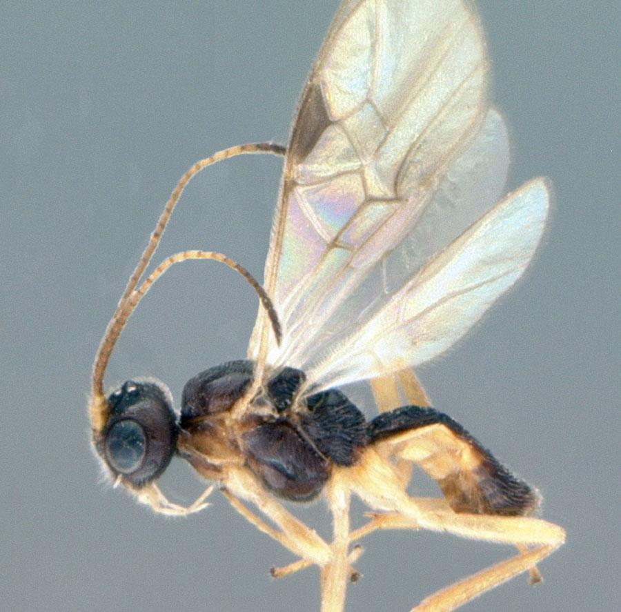 Природний паразит насіннєвого прихованохоботника Diospilus