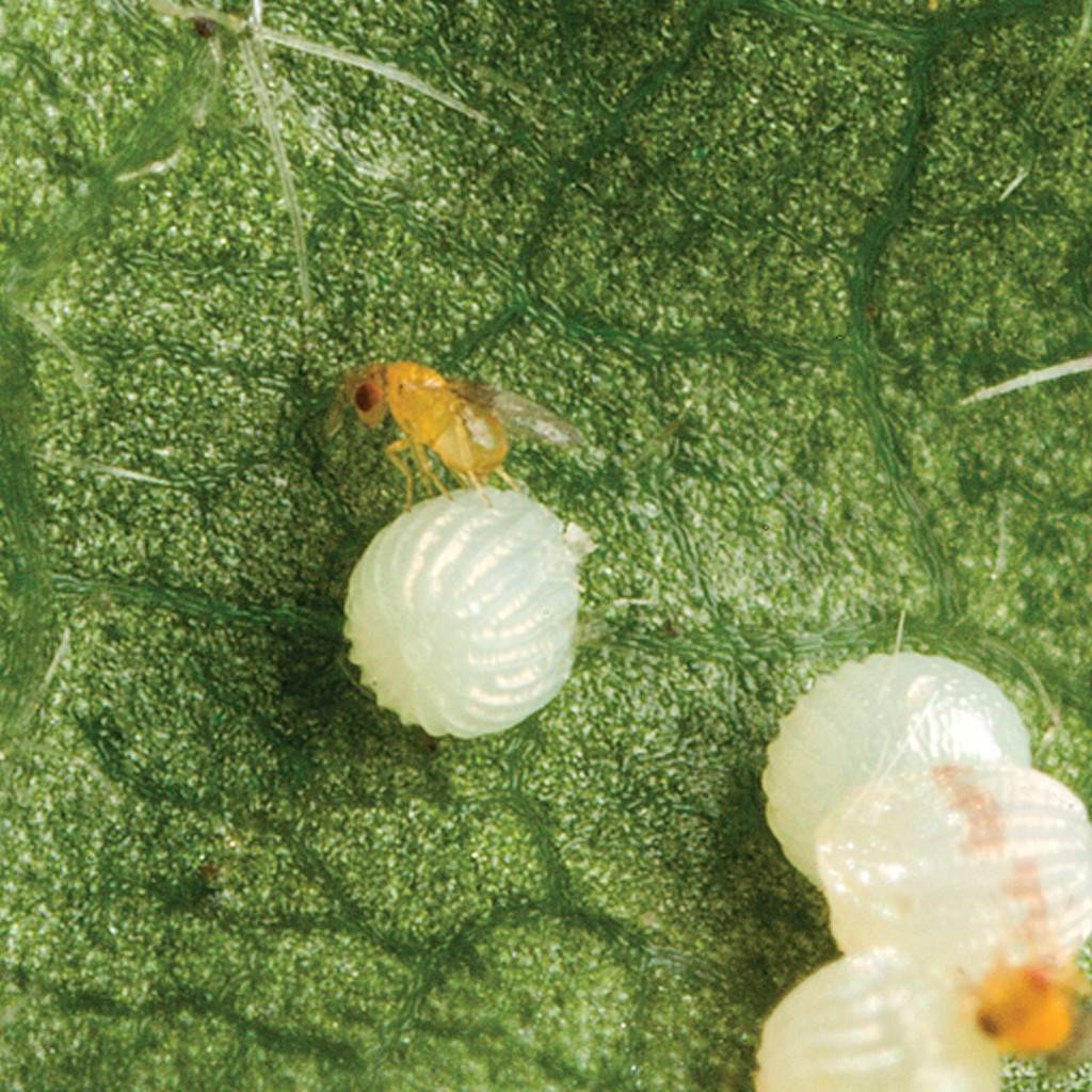 Трихограма, агент біологічної боротьби з озимою совкою
