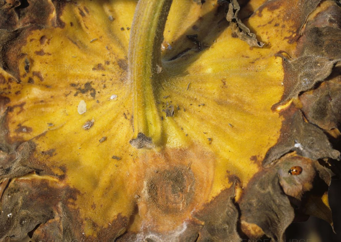 Ураження кошика соняшника сірою гниллю