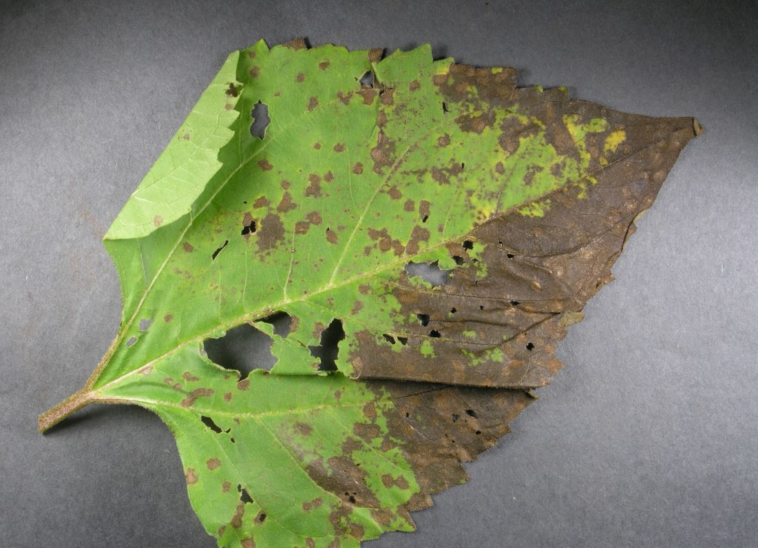 Септоріоз на листках соняшнику