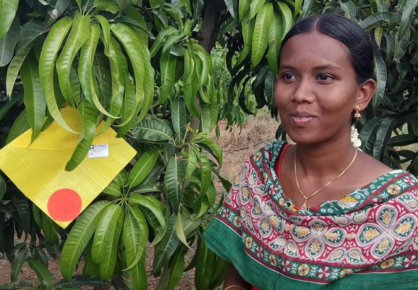 Біопастка FreeDome на манговому дереві, Таміл Наду, Індія.
