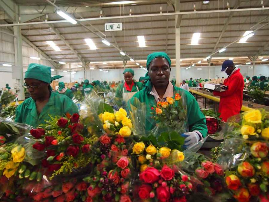 Зрізані квіти — одна з головних статей експорту Кенії