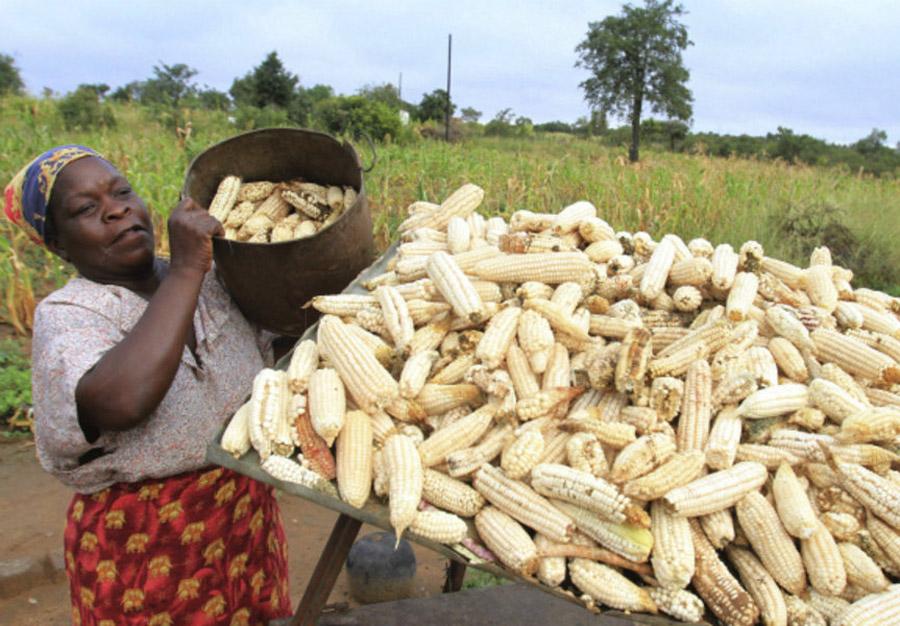 Білозерна кукурудза — головний продукт харчування в країні