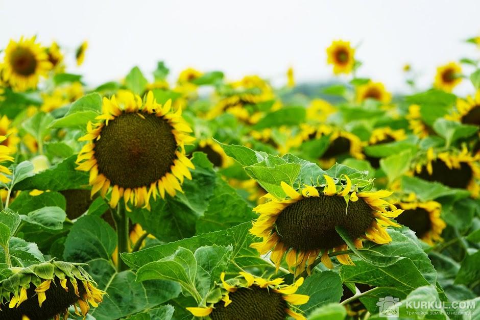 Посіви соняшнику