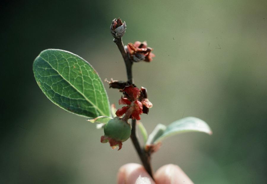 Бруньковий кліщ Acalitus vaccinii (Keifer)