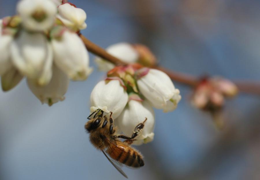 Медоносна бджола (Apis mellifera)