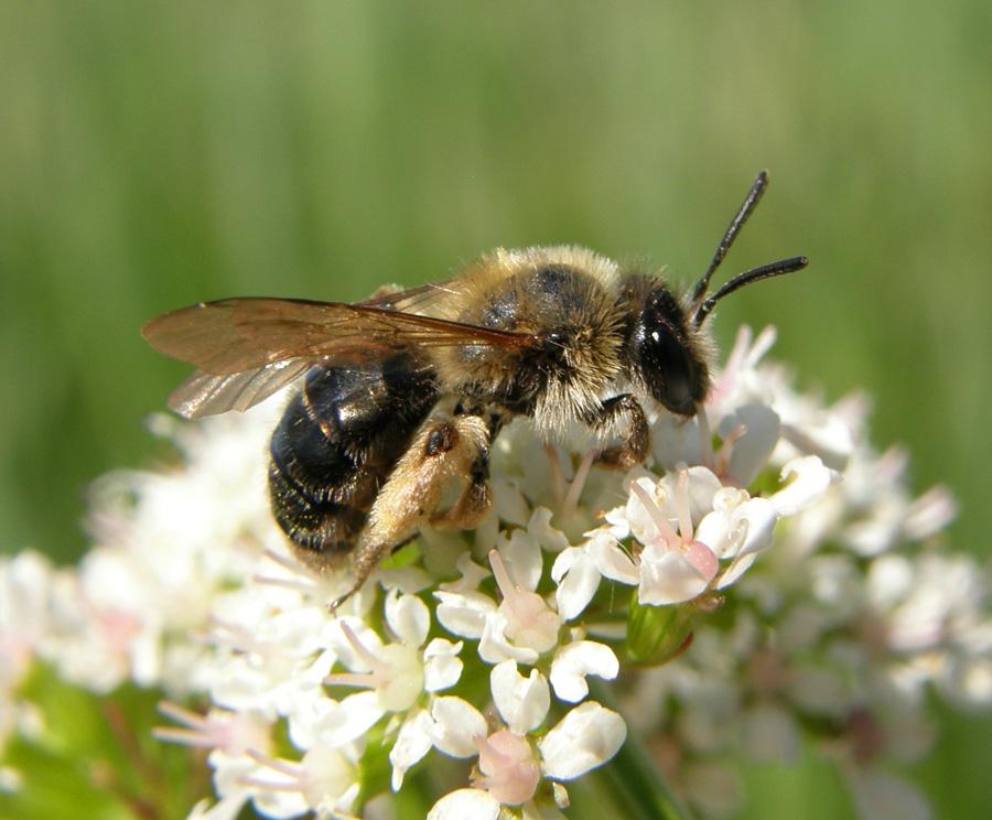 Дрібні дикі види бджіл, що належать до роду Andrena
