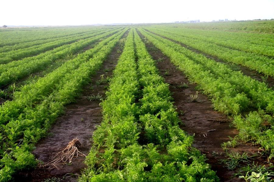 Посіви моркви