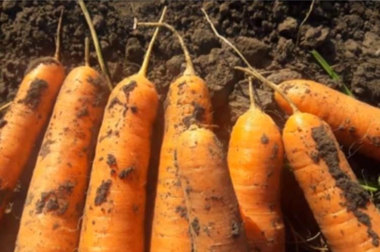 Заокруглені носики стиглих коренеплодів моркви