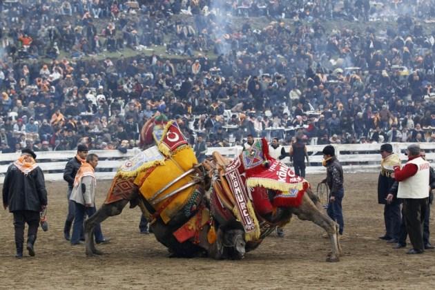 Боротьба верблюдів на переповненому стадіоні