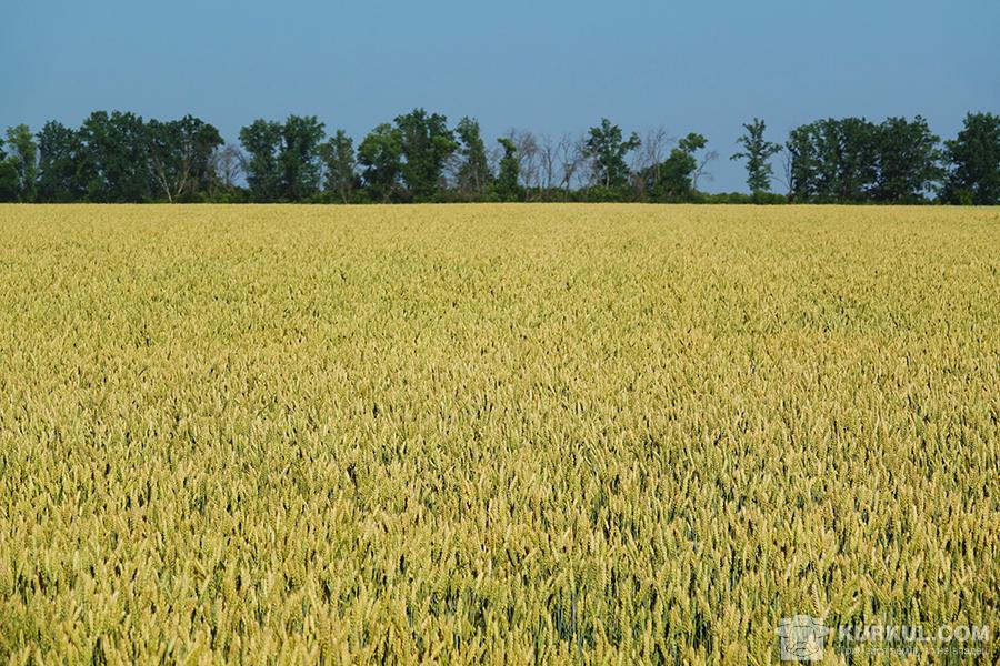 Пшениця на полях господарства «Славутич»