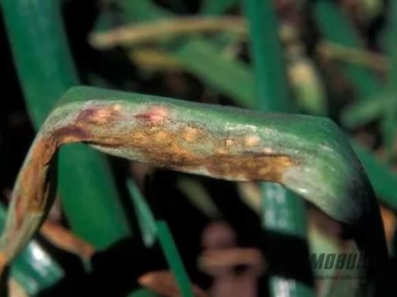 Несправжня борошниста роса часнику (пероноспороз)