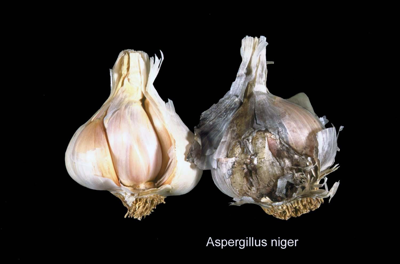 Чорна пліснява (аспергільоз) часнику