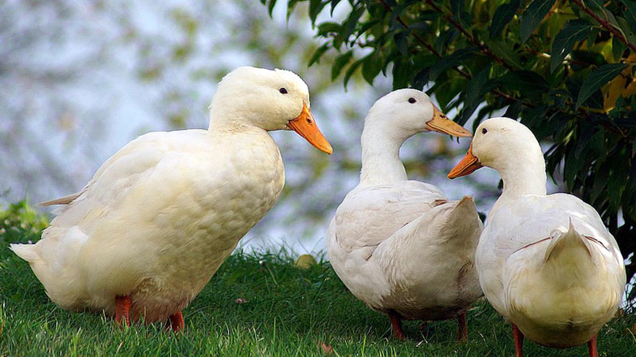 Порода качок: Черрі-Веллі