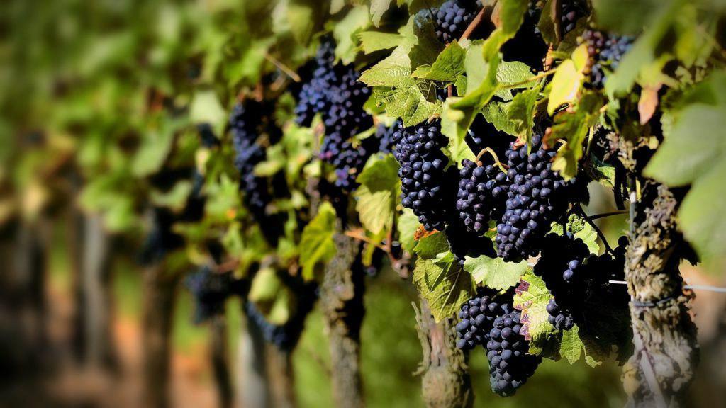 Грони винограду