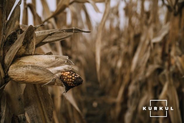 Поле кукурудзи, господарства «Партнер Агро Груп»