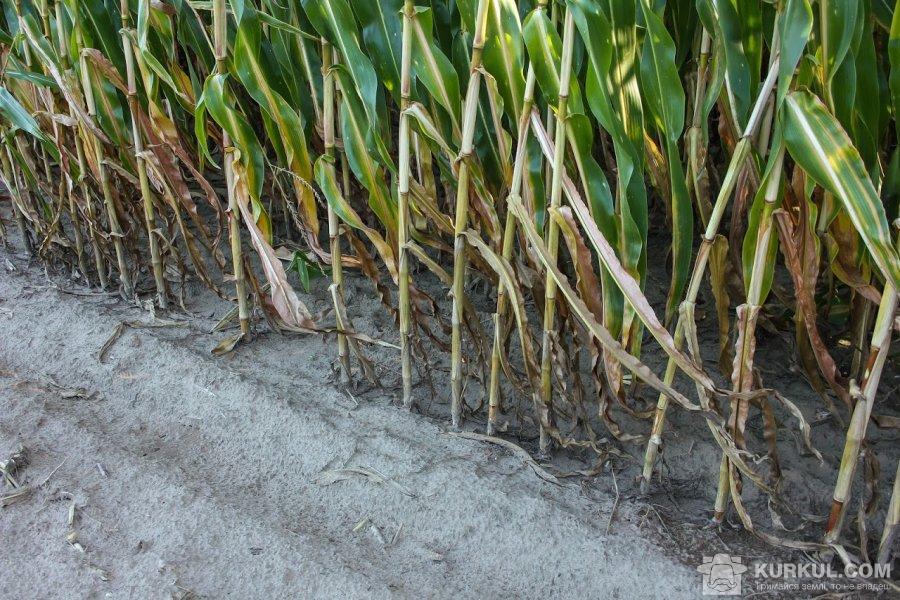 Густота посіву кукурудзи