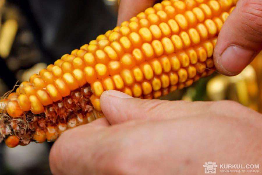 Качан кукурудзи