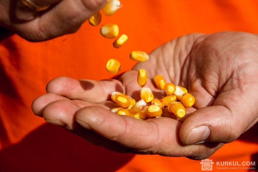 Зерна кукурудзи