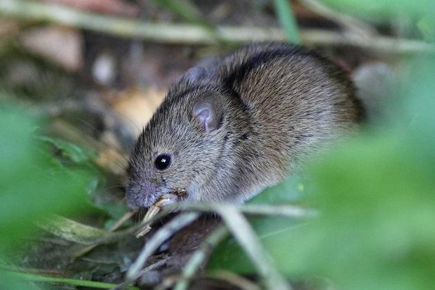 Миша у полі