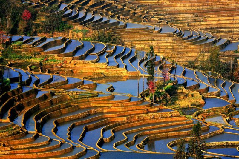 Плантації рису