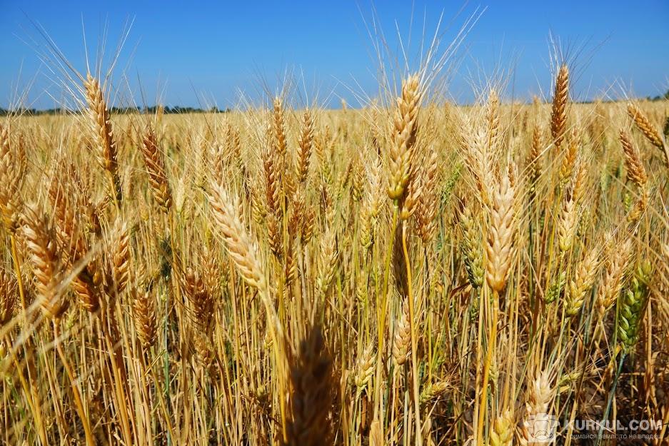 Посіви пшениці