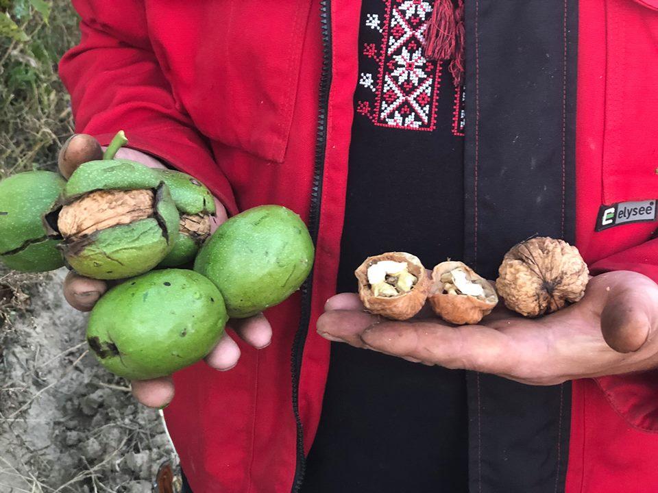 Волоські горіхи із саду Івана Юкала