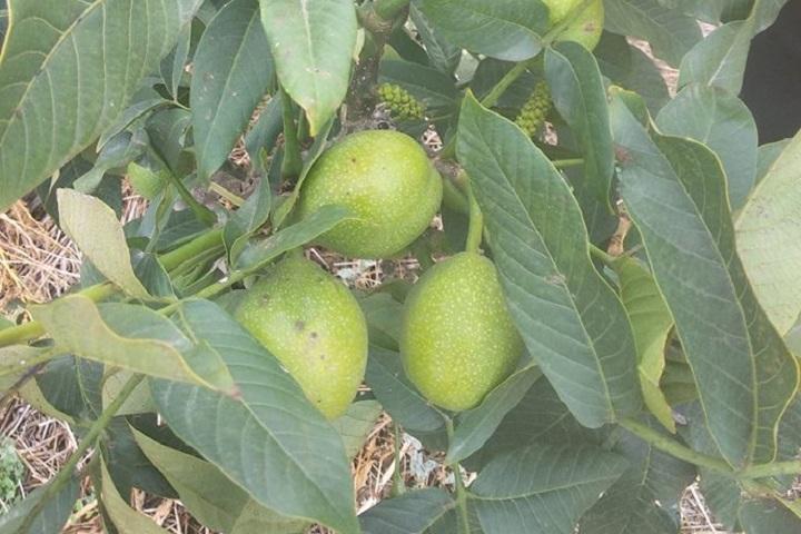 Зелені волоські горіхи