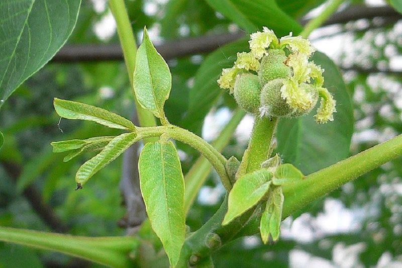 Цвітіння волоського горіха