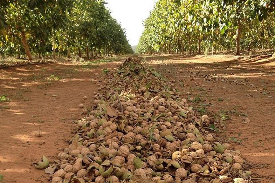 Сад волоського горіха