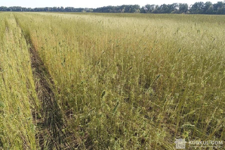 Посіви конопель агропромислової групи «Арніка»