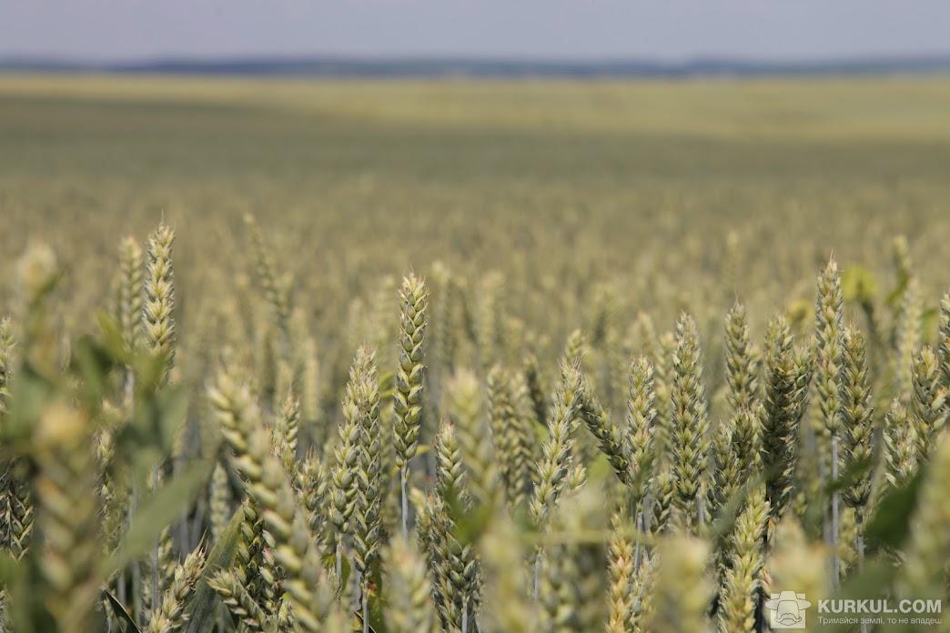 Посіви озмої пшениці