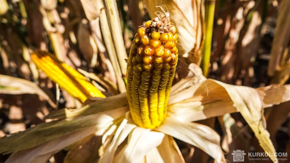 Кукурудза