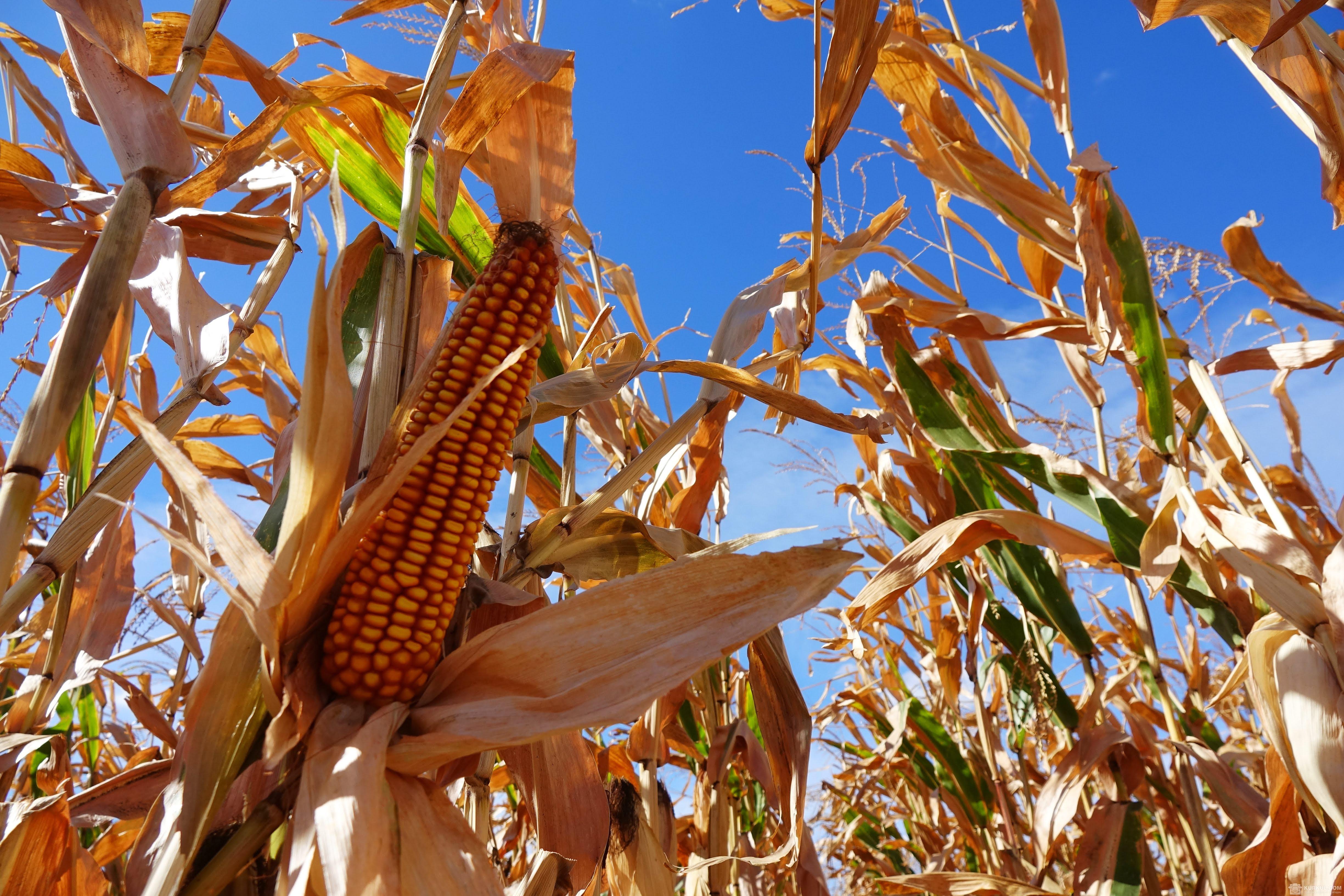 Посіви кукурудзи компанії SAT