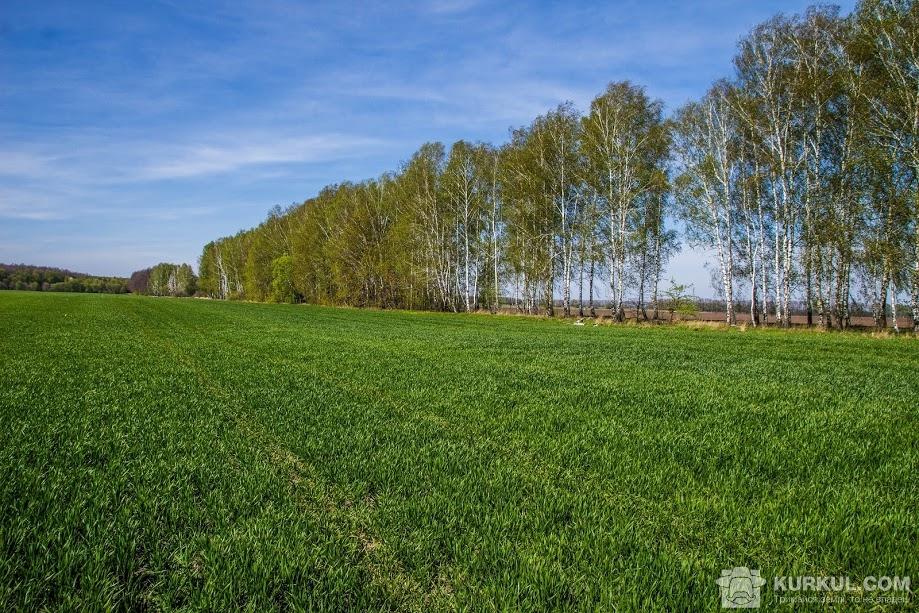 Пшениця на полі