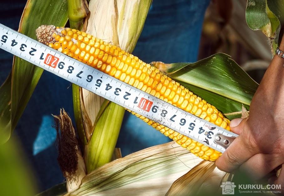 Замір початку кукурудзи