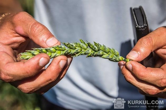 західний буг, пшениця 2017
