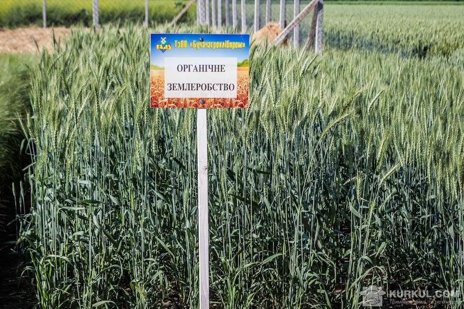 Органічна пшениця