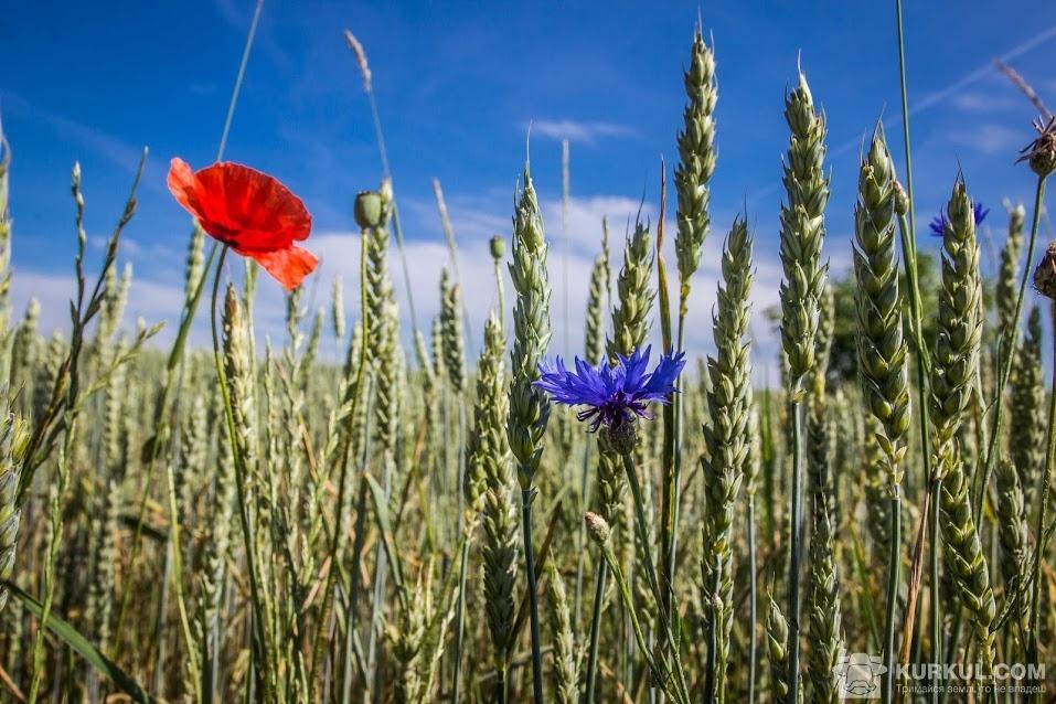 Пшениця і волошки