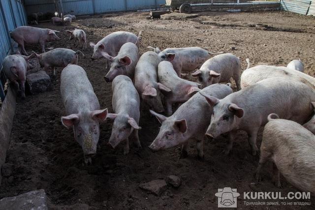 Свині господарства