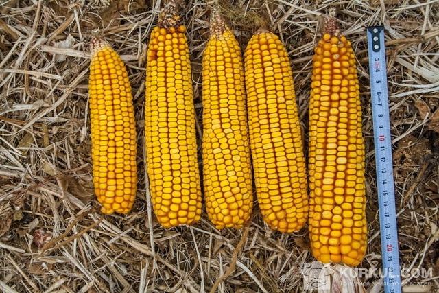 Вимірюємо розмір кукурудзи